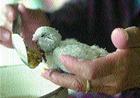 Птичий грипп повлек собой объявление карантина в Тюменской области