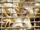 Птичий грипп: Белоруссия запретила ввоз мяса птицы из России