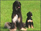 В Корее появилась первая в мире клонированная собака