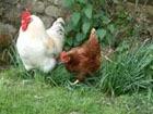 В Челябинской области подозревают наиличие птичьего гриппа