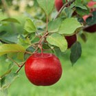 Сегодня Яблочный спас, яблочки становятся волшебными