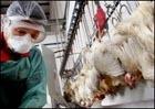 Птичий грипп во Вьетнаме: пугающая статистика