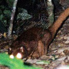 На острове Борнео обнаружено неизвестное доселе млекопитающее