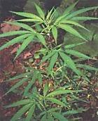 Америка начала легализовывать марихуану