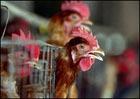 В Турции с птичьим гриппом были госпитализированы еще два ребенка