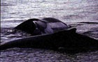 В Темзу попал бутылочноносый кит
