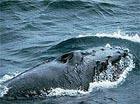 Попавший в Темзу кит погиб - спасательная операция закончилась неудачно