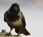 Охота на ворон приведет к засилью крыс