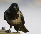 Диких птиц не будут отстреливать