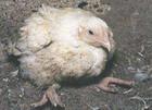 От птичьего гриппа были вакцинированы более 4 миллионов птиц