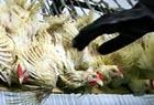Птичий грипп добрался до Великобритании