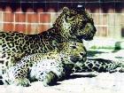 В зоопарке Хемница леопарды загрызли уборщицу