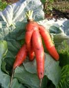 Морковка против всех болезней