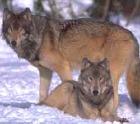 Южнокорейские ученые успешно клонировали двух волчиц исчезающего вида