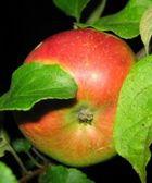 Яблочко душистое