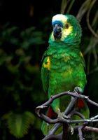 Смертельно опасный попугай амазон