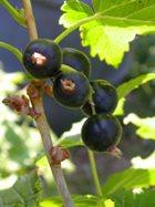 Самая полезная для здоровья ягода на свете