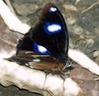 Бабочки «Голубая луна» могут быстро эволюционировать