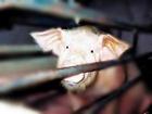 В Австрии перевернулся грузовик с 200 свиньями