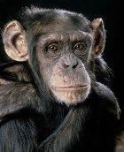 Человек произошёл от обезьяны, или обезьяна от человека?