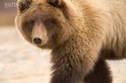 Голливудский медведь-артист оказался убийцей