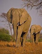 Самые популярные подарки – из слоновьего навоза