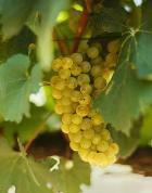 Рак желудка боится винограда