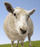 Мясо клонированных животных полностью безопасно