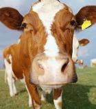 В загрязнении окружающей среды виноваты коровы?