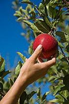 Учёным под силу выращивать яблоки со вкусом банана