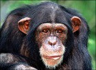 Награда может быть вручена за автобиографию… шимпанзе