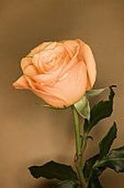 Успешно сдать экзамены помогут... розы