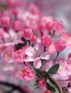 Жизнь подобна цветку сакуры