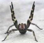 Яд паука вылечит от импотенции