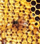 Полезен ли вам мёд?
