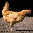 Чудо-рис защитит от птичьего гриппа