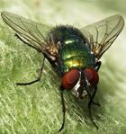 Личинки мух вместо антибиотиков