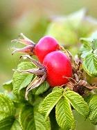 Плоды розы помогут суставам оставаться здоровыми