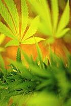 В Калифорнии легализуют марихуану?