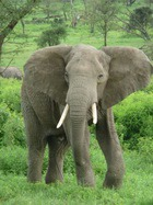 Педикюр входит в моду и среди слонов