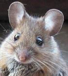 Ученые научат мышей разговаривать