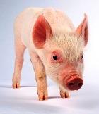 Учёные научились выращивать клетки человеческого тела из… ушей свиньи