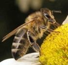 Укус пчелы полезен?