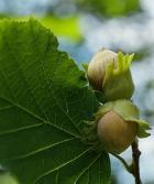 Орехи: жарить или есть в свежем виде?