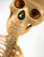 Изменение формы желудка делает хрупкими кости скелета