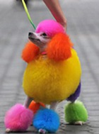 Цветные пудели – новая достопримечательность Китая