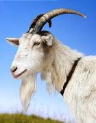 Трава похотливого козла, или «Виагра» №2