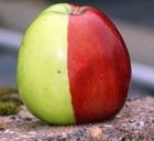 Британский фермер вырастил чудо-яблоко