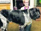 Самая большая собака в мире проживает в США
