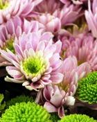 Что хризантема скрывает за своей красотой?